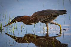 new heron (robertskirk1) Tags: nature animal wildlife bird little green heron port delmarva rehoboth bay delaware de