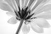 Mum's the word! (Fallen Archer) Tags: pottedmum blackandwhite canonef50mmf14usm kenko13mmextensiontube canoneos40d canon600exrt lastolitesoftbox flowersinblackandwhite flower macromondays petals