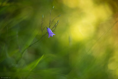 Sauvage (Laurette.C) Tags: campanule bokeh lumire fleursauvage campanula