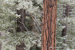 Snowy Trees Abstract (Free Roaming Photography) Tags: abstract americansouthwest arizona arizonatrail coloradoplateau desertsouthwest evergreentrees kaibabnationalforest kaibabplateau northernarizona ponderosapinetrees snow snowontrees sprucetrees treetrunks winterweather jacoblake unitedstates