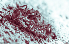 Battle (Stefan Mladjenovic Photography) Tags: macro supermacro aurora ontario canada nature ants insect insects edit split tone toning splittone splittoning flash nikon 85mm 85mm35g