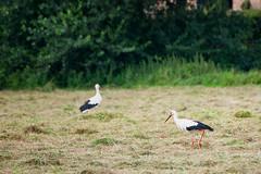 Storch (timo.soyke) Tags: vogel storch störche wildvögel norderstedt wiese weide acker gras mähen trecker landwirtschaft natur drausen outdoor