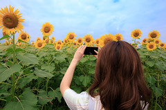Young woman taking picture of sunflowers with smart phone (Apricot Cafe) Tags: asianethnicity canonef1635mmf28liiusm japan kanagawa enjoy happiness nature oneperson outdoor refresh strawhat summer sunflower traveldestinations vacation walking weekendactivities woman youngadult zamashi kanagawaken jp img647032