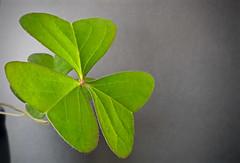 Clover macro (pedro vit) Tags: clover clovers plant green closeup flora floral nature luck leaves symmetry symmetric
