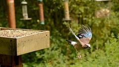 Take Off (J @BRX) Tags: jay garrulous glandarius adeldam yorkshirewildlifetrust goldenacrepark bramhope leeds yorkshire england uk august2016 summer bird crow green sunlight feeder flight wings