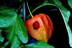 Lampion-Blume (Physalis alkekengi) (dl1ydn) Tags: lampion mf nature outside garden garten