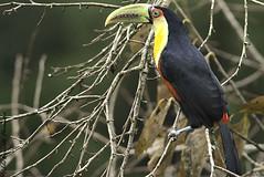 VEF_44532-2 (vildeer) Tags: tucanodebicoverde ramphastos dicolorus redbreasted toucan
