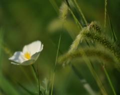 andrà tutto bene... (andrea.zanaboni) Tags: fiore flowers macro nikon bianco white candido green verde flickrsbest