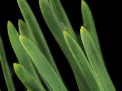 2016-10-09-08.12.27 ZS PMax Pinus contorta ssp. bolanderi-1 (John Rusk) Tags: olympuspenepl7body canonfd100mmmacrolens iso100 shutterspeed160s fstopf4 zerenestacker stackof15images taxonomy:kingdom=plantae plantae tracheophyta taxonomy:phylum=pinophyta pinophyta taxonomy:class=pinopsida pinopsida taxonomy:order=pinales pinales taxonomy:family=pinaceae pinaceae taxonomy:genus=pinus pinus taxonomy:species=contorta taxonomy:binomial=pinuscontorta taxonomy:trinomial=pinuscontortabolanderi pinuscontortabolanderi bolandersbeachpine taxonomy:common=bolandersbeachpine taxonomy:phylum=magnoliophyta magnoliophyta taxonomy:class=magnoliopsida magnoliopsida taxonomy:order=rosales rosales taxonomy:family=crassulaceae crassulaceae taxonomy:genus=dudleya dudleya taxonomy:species=lanceolata taxonomy:binomial=dudleyalanceolata lanceleafliveforever dudleyalanceolata lanceleaveddudleya taxonomy:common=lanceleafliveforever taxonomy:common=lanceleaveddudleya taxonomy:superphylum=tracheophyta