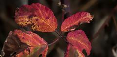 la couleur de saison (mrieffly) Tags: rougepassion automne feuilles canoneos50d 100400issriel