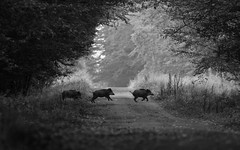 Dfil porcin (Eric Penet) Tags: sanglier animal avesnois france fort suid septembre noiretblanc nord nature mammifre wildlife wild automne forest mormal locquignol boar course route