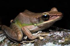 Odorrana hosii [Hose's Frog] (kkchome) Tags: herp herping herpetology amphibian frog odorrana hosii hoses nature wildlife fauna asia malaysia bukit fraser