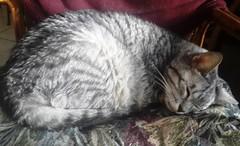 NINO (Dyanaydyth) Tags: cats chat gatos gatto gatitos siameses ojos azules bebe