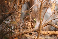 African Barred Owlet (moments in nature by Antje Schultner) Tags: kapkauz african barred owlet bird vogel botswana afrika