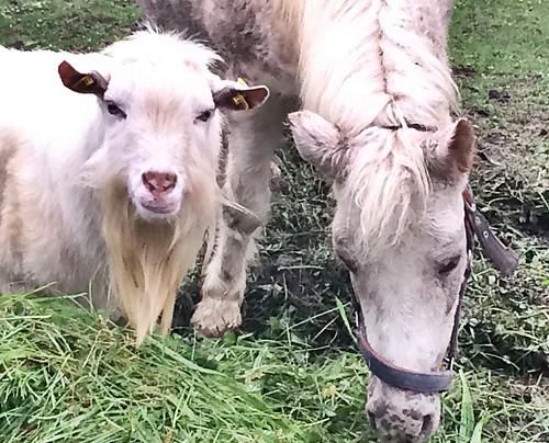 Ziegen und Pferde ..