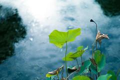 lotus (N.sino) Tags: m9 summilux50mm lotus pond japanesegarden