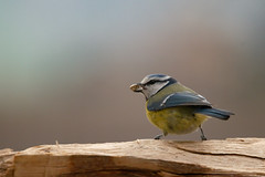 Msange bleue - Servion 2015 (DorianHunt) Tags: birds switzerland march backyard bokeh sigma bluetit 400mm 2015 servion nikond300s