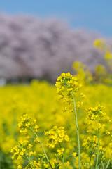 canola flower (Naoki Kikuchi) Tags:  cherryblossom