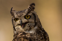 Eagle Owl (John Ambler) Tags: white john garden photographer eagle wildlife photograph ventnor owl botanic ltd falconry ambler johnambler