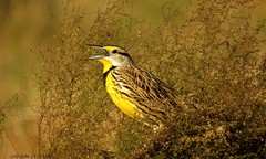 """""""Eastern Meadowlark"""" (Gary Helm) Tags: camera usa brown white black tree bird nature birds yellow canon fence outside gold fly us bill bush weeds florida grove song wildlife flight wing feathers insects seeds pasture sing perch fields perched grains songs fencepost pinewoods easternmeadowlark wildlifemanagementarea hendrycounty dinnerislandranch parairies sx60hs cultivatedareas garyhelm ghelm47"""