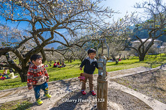 Harry_23328,,,,,,,,,,,,,,,,,,,,,,,,,,,,Plum,Plum Tree,Tree,Fruit,Farm (HarryTaiwan) Tags: tree fruit nikon farm plum taiwan     plumtree d800                            harryhuang  hgf78354ms35hinetnet  adobergb