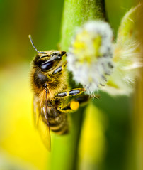bee (George Bryan Jr) Tags: green yellow fly wings bee pollen