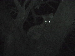 Genet In the Tree at Night