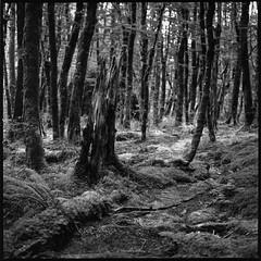 Buchenwald (Konrad Winkler) Tags: 6x6 wald neuseeland stamm buchen kodak400tmy mittelformat mountaspiringnationalpark hasselblad503cx epsonv800 reestrack