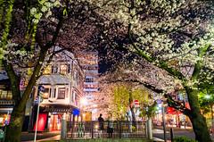 sakura '15 - cherry blossoms #5 (Kiyamachi street, Kyoto) (Marser) Tags: japan cherry kyoto raw   sakura gr ricohgr lightroom  kiyamachi grd