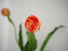 French Tulip (neya25) Tags: flower bokeh tulip blume beautifull tulpe cicek panasonic25mm olympusomdem10