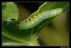 Pristiphora appendiculata larva (cquintin) Tags: arthropoda larva hymenoptera larve appendiculata tenthredinidae macroinsectes nematinae pristiphora