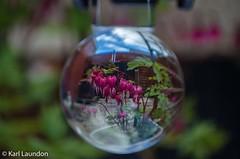 Crystal Ball - first attempt (karllaundon) Tags: pink flowers colour green garden heart bleedingheart reverse crystalball glassball