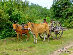 Ox Cart - Along The Way