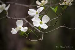 April -8210 (MVMoore59) Tags: white flower spring northcarolina arboretum carolina dogwood blueridgeparkway springtime