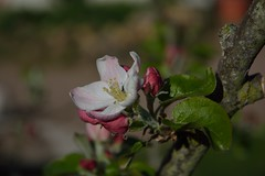 Apfel (, Ting Chen, Wing) Tags: apple blte apfel  malusdomestica apfelblume