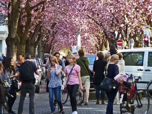 Kirschblüte 2015 Altstadt Bonn - Touristen