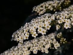 Weie Brautspiere - Spiraea arguta (Kat-i) Tags: flowers white macro canon spring blumen kati frhling katharina 2015 weis spiraeaarguta canoneos400ddigital brautspiere