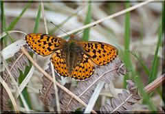 Pearl Bordered Fritillary (Missy2004) Tags: butterfly insect newforest pearlborderedfritillary boloriaeuphrosyne frohawkwalk