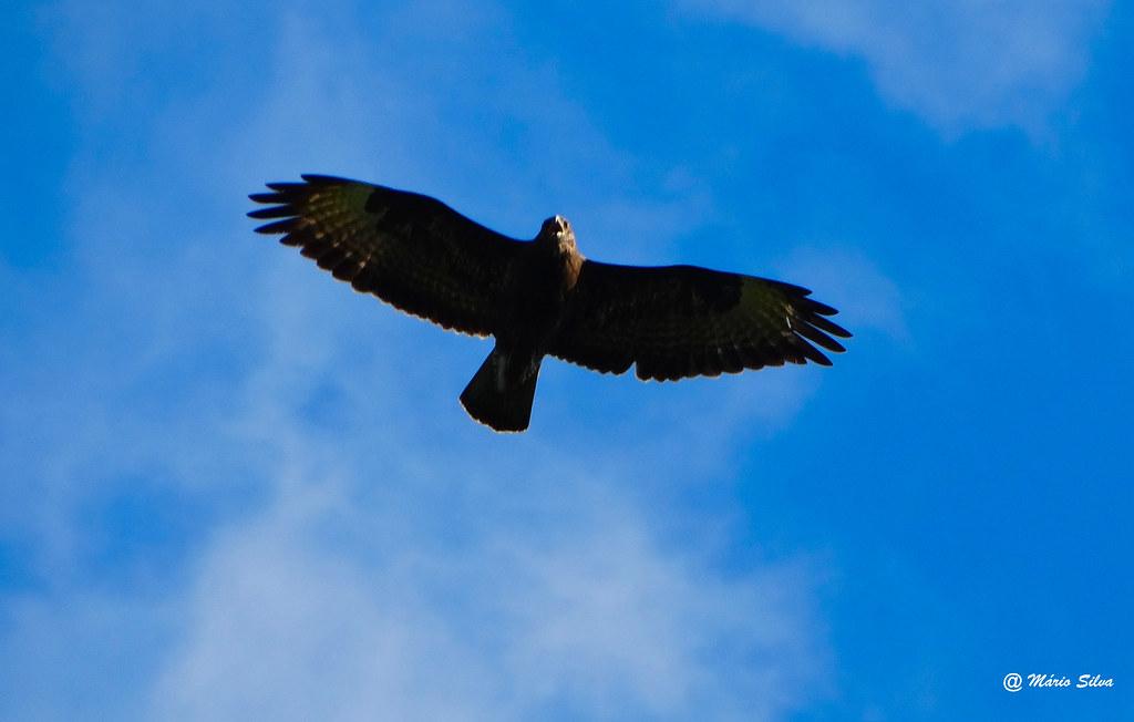 Águas Frias (Chaves) - ... ave de rapina sobrevoando os ares da Aldeia ...