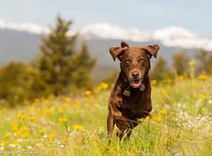 Intensity in the Wildflowers (KB RRR) Tags: dog colorado rockymountains frontrange chocolatelabrador shyla