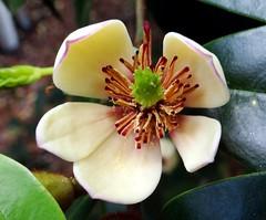 BANANA SHRUB  #3 (3Point141) Tags: usa orlando florida magnolia leugardens magnoliaceae bananashrub micheliafigo 3point141