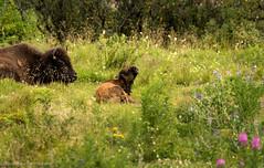 Buffalo calf in Kodiak, AK (rishaisomphotography) Tags: babyanimal calf buffalo bison americanbison alaska kodiak mammal wildlife wildlifephotography nature naturephotographer