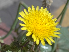 DSC04918 (familiapratta) Tags: flowers flores flower nature iso100 sony natureza flor hx100v dschx100v