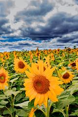 sunflower Hokkaido (koshichiba) Tags: sunflower hokkaido japan nature landscape yellow orange travel outdoor clouds field sky lee nd     hokuryu