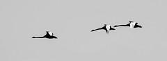 Blacks swans in flight (Matt OZW) Tags: australia birds blackwhite blackswan monochrome places queensland
