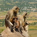 Monkey Family enjoying the view