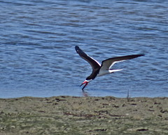 Black Skimmer Skimming (nebulous 1) Tags: bird nature fauna nikon blackskimmer bolsachicawetlands nebulous1 blackskimmerskimming