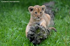 African lion cub - Olmense Zoo (Mandenno photography) Tags: dierenpark dierentuin dieren animal animals belgie belgium bigcat big cat cub lioncub african lion lions leeuw olmense olmensezoo olmen balen