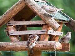 160710_153157_P3740799.jpg (millipod) Tags: birds mus sparrow spatz lelystad flevoland netherlands