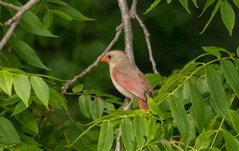 7K8A3873 (rpealit) Tags: scenery wildlife nature east hatchery alumni field hackettstown female northern cardinal bird